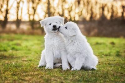 ホワイトシェパードの子犬二頭、芝生の上
