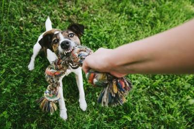 おもちゃを飼い主と引っ張りあいをする犬