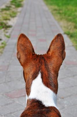大きな耳の犬の後ろ姿