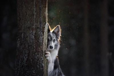 木の後ろに隠れる犬