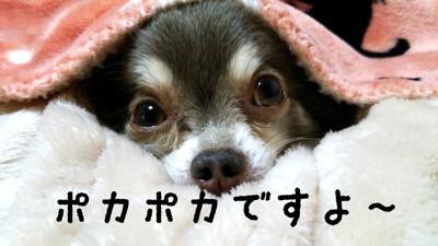 毛布をかぶったチワワ