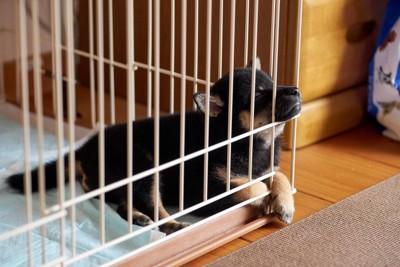 ケージの中で寝ている子犬