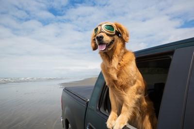 車から乗り出して楽しそうな犬