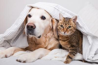横並びのゴールデンレトリバーと猫