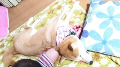 腕枕で眠る柴犬