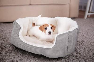グレーのベッドの中にいる子犬