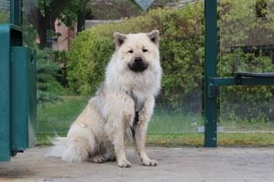 座っているユーラシアの犬