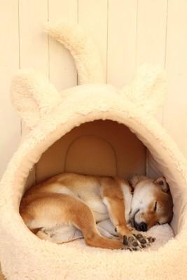 ベッドの中で丸くなる柴犬