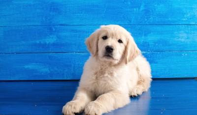 青いベンチの上で伏せるレトリバーの子犬