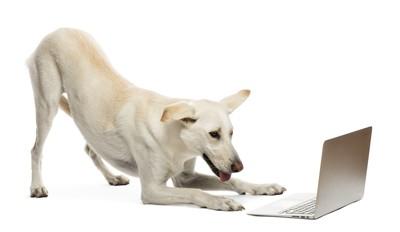 ラップトップを覗く白い犬