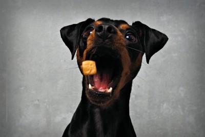 フードをキャッチしようとする犬
