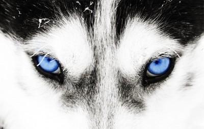 ハスキーの青い目アップ