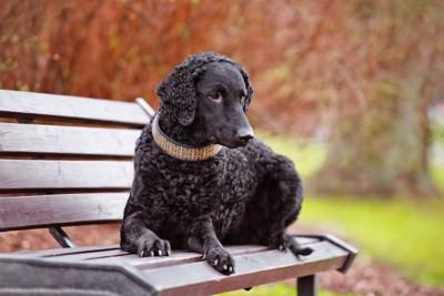 ベンチに座るカーリーコーテッドレトリーバー