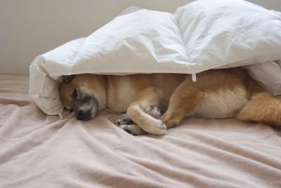 布団にくるまる犬