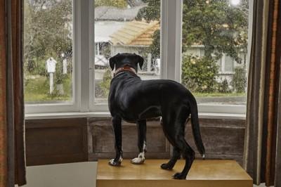 窓から雨の降る外を眺める犬