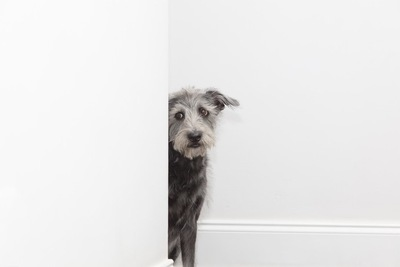 物陰から不安気に覗いている犬、真っ白い壁