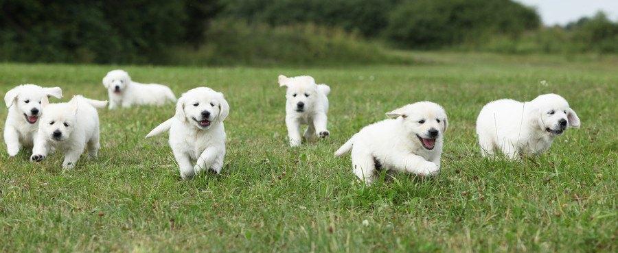 走る7頭の子犬