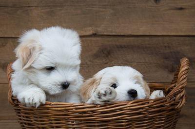 籠に入った2匹のマルチーズの幼犬