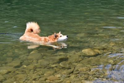 川で泳いでいる柴犬