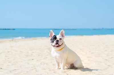 浜辺に座るフレンチブルドッグと青空