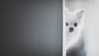 ドアの陰から顔を出すチワワ
