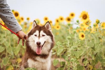 ひまわり畑と犬