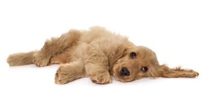 床に横になる茶色の犬
