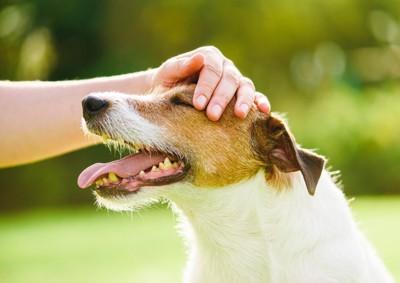 犬の頭を撫でる、ジャックラッセルテリア