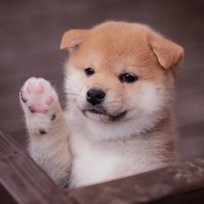 片手を上げる子犬