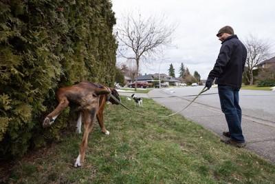 散歩中に植え込みにオシッコするボクサー犬の後ろ姿