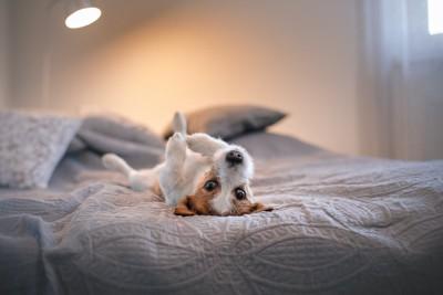 ベッドで仰向けに転がる犬