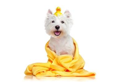 ヒヨコのおもちゃを頭に乗せた白い犬