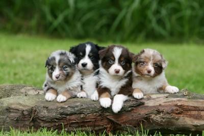 オーストラリアンシェパード子犬達