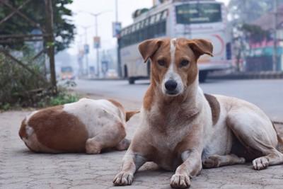 インドの街角の野良犬