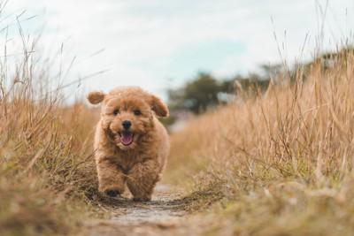 走るプードルの子犬