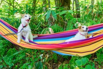 ハンモックに乗った2匹の犬