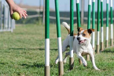 ボールを目掛けて障害物を避けて走る犬