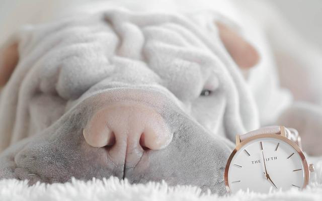 眠るシャーペイの子犬と時計