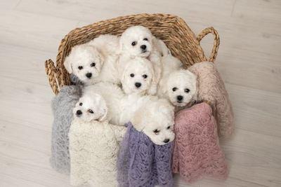 カゴの中でくつろぐ6匹のビションフリーゼの幼犬