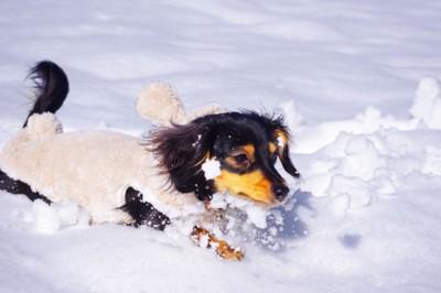 雪の上を走るミニチュアダックスフンド