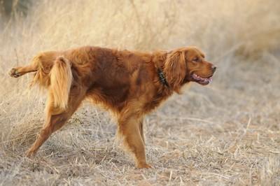 足を上げて排泄している犬