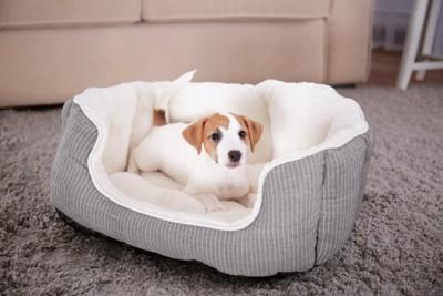 犬用ベッドに入る子犬