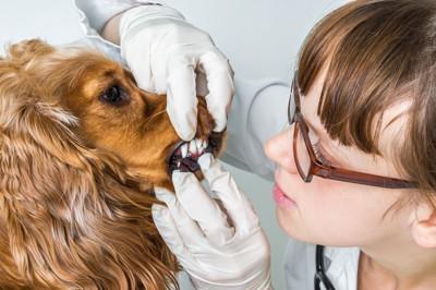 犬の歯を診ている女医