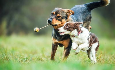 走る2頭の犬