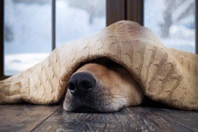 毛布に包まれる犬の鼻