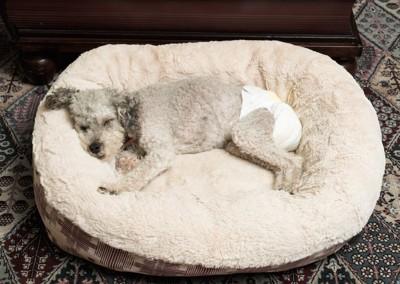おむつをしてベッドで眠る犬