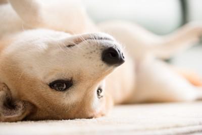 仰向けに寝転がってこちらを見つめる柴犬
