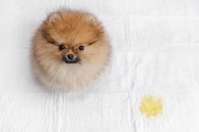 トイレシートに座るポメラニアンの子犬
