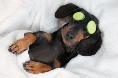 キュウリのパックをして眠る犬