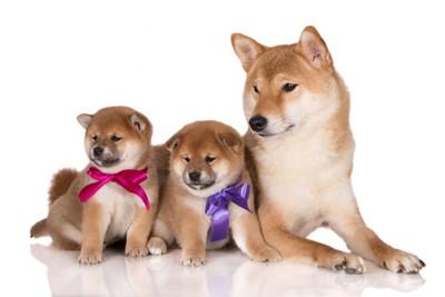 三匹の柴犬